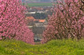 Orchards blooming at early spring near danube river in serbia Stock Photography
