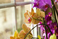 Orchid beautiful colorful by a window Stock Photography