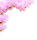 Orchid border made from beautiful pink flowers on white background Stock Images