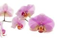 Orchid branch of over white background Royalty Free Stock Images