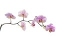 Orchid branch of on white background Stock Photo