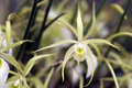 Orchid Brassavola perrini Royalty Free Stock Photo