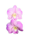 Orchid center Royalty Free Stock Image