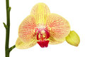Orchid close up for your design Royalty Free Stock Photo