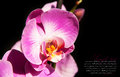 Orchid close up for your design Royalty Free Stock Photography