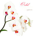 Orchid close up for your design Stock Image