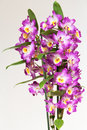 Orchid dendrobium on plain background Stock Photos