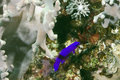 Orchid dottyback Royalty Free Stock Photo