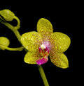 Orchid in drops of water on a black background Royalty Free Stock Photo