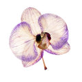 Orchid drying Royalty Free Stock Image