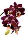 Orchid entwine yourselves to a wine red Royalty Free Stock Images