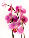 Orchid of falinopsis Stock Photos