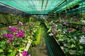 Orchid farm row full of blooming and budding purple and white Phalaenopsis orchid flower and green leaves on humid ground Royalty Free Stock Photo