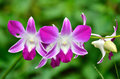 Orchid flower close up of Royalty Free Stock Photography