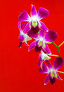 Orchid flower close up isolated on red Royalty Free Stock Photography