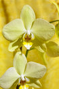 Orchid flower close up of a on yellow background Stock Image