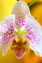 Orchid flower close up of a on yellow background Stock Photo