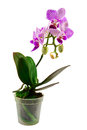 Orchid flower in flowerpot Stock Photography