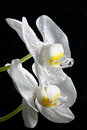 Orchid flower full bloom water drops Stock Photos