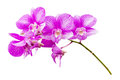 Orchid flower isolated on white background Royalty Free Stock Photos