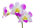 Orchid flower isolated on white background Royalty Free Stock Images