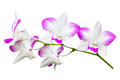 Orchid flower isolated on white background Stock Images