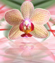 Orchid flower with leaves reflection Stock Photo