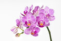 Orchid flower, phalaenopsis Royalty Free Stock Photos