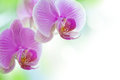 Orchid flowers beautiful pink phalaenopsis Stock Photos