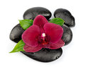 Orchid flowers on black stones on white Stock Image
