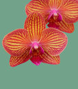 Orchid flowers striped on space Royalty Free Stock Image
