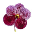 Orchid fresh on white background Royalty Free Stock Photos