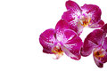 Orchid isolated on white background blooms Stock Image