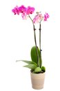 Orchid isolated on white in plant a pot Stock Photos