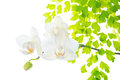 Orchid with leaves fern isolated on white back blooming background Royalty Free Stock Image