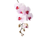 Orchid light pink isolated on white Stock Photo