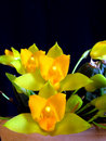 Orchid: Lycaste cochleata Royalty Free Stock Photo