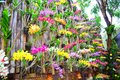 Orchid many color in the wall krabi thailand Royalty Free Stock Images