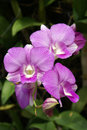 Orchid this is a nice at thailand Royalty Free Stock Photos
