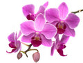 Orchid phalaenopsis Royalty Free Stock Photo