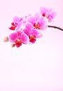 Orchid on pink background with copy space Stock Images