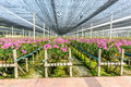 Orchid plant nursery in thailand Stock Images