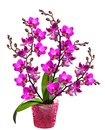 Orchid in a pot Stock Photography