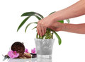Orchid in pot female hands planting isolated on white background Royalty Free Stock Photography