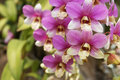 Orchid purple orchids in garden close up Stock Photos