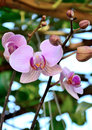 Orchid Thailand Banana varieties Wanda Royalty Free Stock Photography