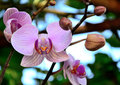 Orchid Thailand Banana varieties Wanda Royalty Free Stock Photos