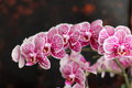Orchid tropical flower on black background vintage soft focus Royalty Free Stock Photo