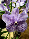 Orchid Vanda Royalty Free Stock Image
