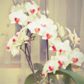 Orchid very beautiful blooming in the house Stock Photos